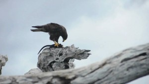 halcon cazando iguana