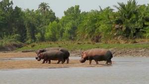 hipopotamos parque natural saadani