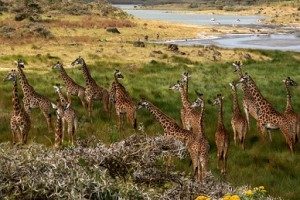 jirafas parque natural arusha