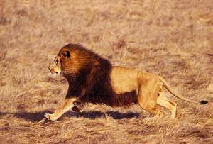 leon corriendo