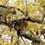 Leones robando la presa a un leopardo