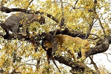 leon leopardo arbol