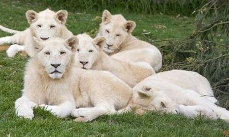 Documental: Leones Blancos, nacidos salvajes con todo en contra