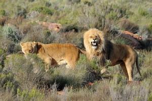 leones karoo