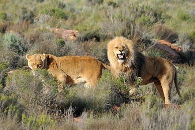 Leones en el Parque Karoo
