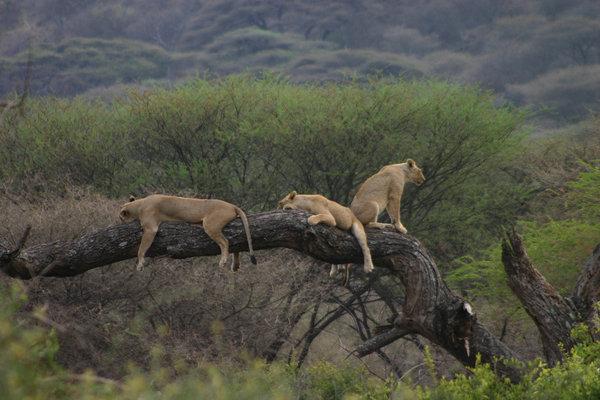 leones parque natural manyara