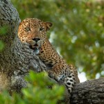 Leopardo cazando un buitre