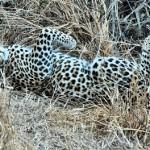 Leopardo dando un garbeo en Karoo