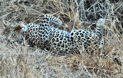 leopardo karoo