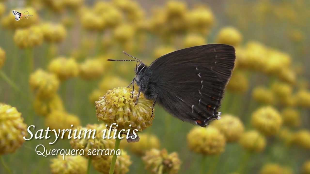 mariposa satyrium ilicis logroño