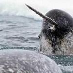 Animales desconocidos: El narval