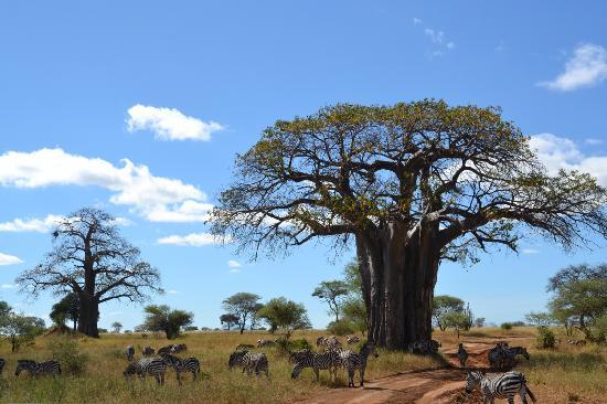 reserva natural Tarangine baobab cebras
