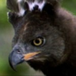 Aguila vs cervatillo de agua