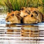 Tres grandes leones cruzando un rio