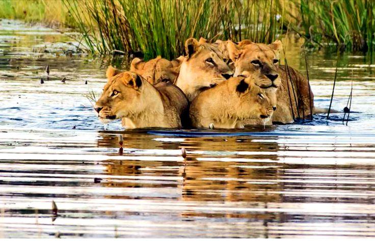 leones rio