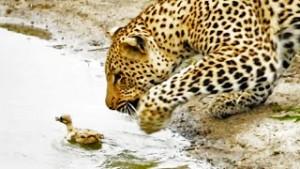 leopardo pajaro