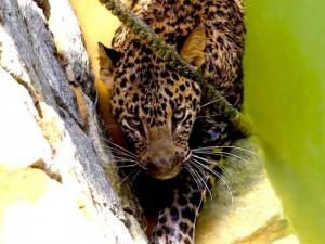 leopardo pozo