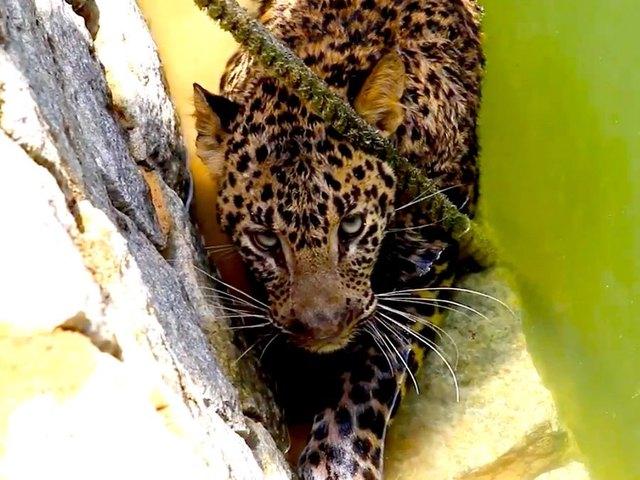 Rescatan un leopardo caido en un pozo