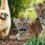 Mono jugando con un tigre joven