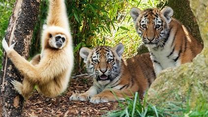 mono tigres