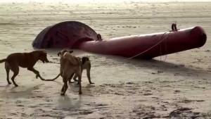 perros mono jugando playa