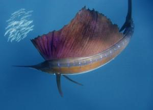 pez vela cazando