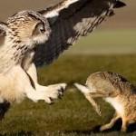 Buho y conejo, ¿peleando?