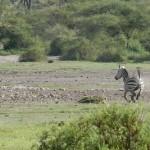 Leona cazando una cebra (con animacion)