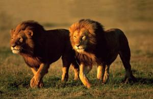 leones serengueti