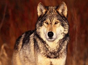 Documental – El Lobo Rojo Salvaje de la Montaña