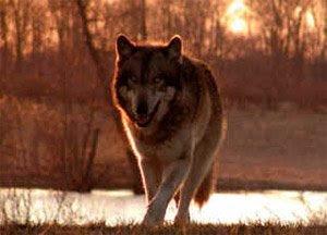 Documental – El lobo que cambio America