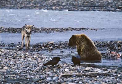 Joven oso grizzly peleando con cuatro lobos