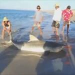 Rescatan un gran tiburon tigre en la playa