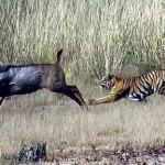 Tigre vs manada de bufalos