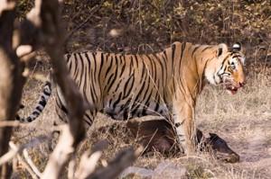 tigre cazando