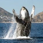 Ballenas jorobadas saltando en el Cabo San Lucas