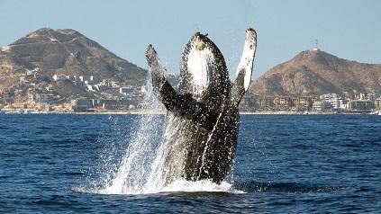 ballena jorobada saltando cabo san lucas