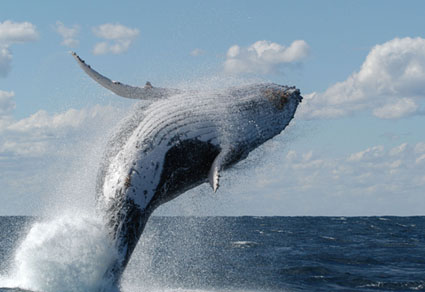 Asombroso salto de ballena jorobada