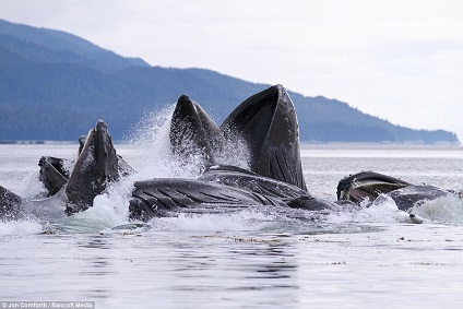 14 ballenas jorobadas saltando a la vez