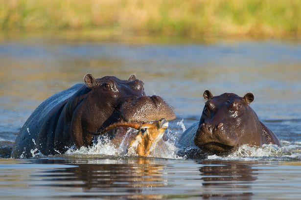 Hipopotamo matando impala en el Kruger