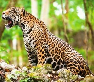 jaguar Sian Ka'an