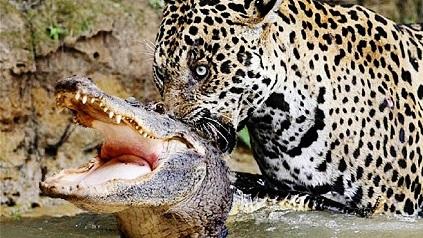 Jaguar cazando un cocodrilo en un rio
