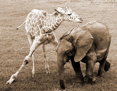 Jirafa y elefante, los mejores amigos