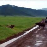 Leon y bufalo cara a cara en Yellowstone
