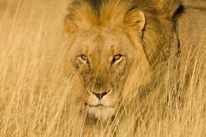 leon camuflado