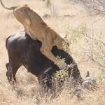 Leona cazando un bufalo