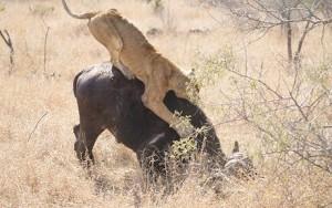 leona cazando bufalo