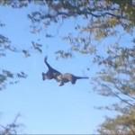 Leopardo volando para cazar una ardilla