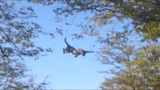 leopardo cazando ardilla al vuelo