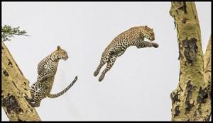 leopardo volando